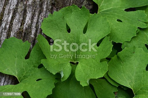 Close-up of bloodroot leaves with tree stump in background