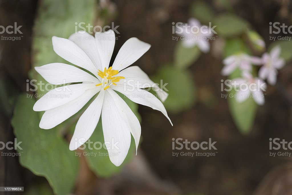 Bloodroot royalty-free stock photo