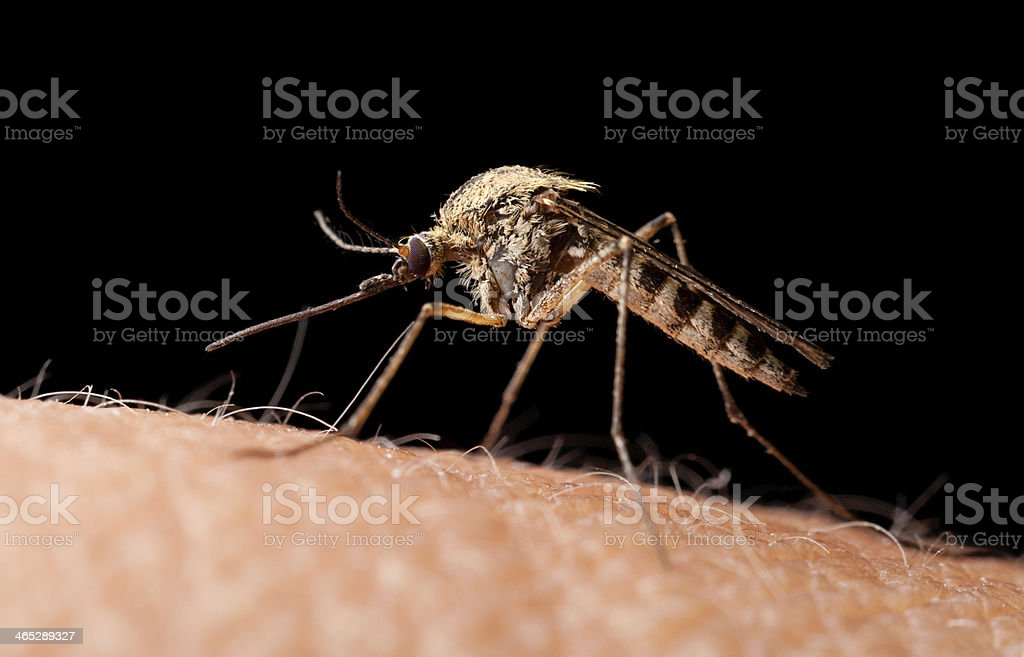 Bloodsucker mosquito on human skin, low point of view royalty-free stock photo