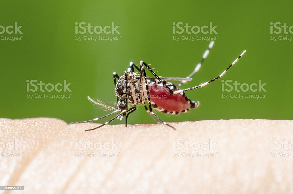 Bloodsucking Mosquito on hand with green background. stock photo