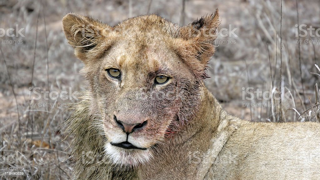 Bloody Lioness royalty-free stock photo