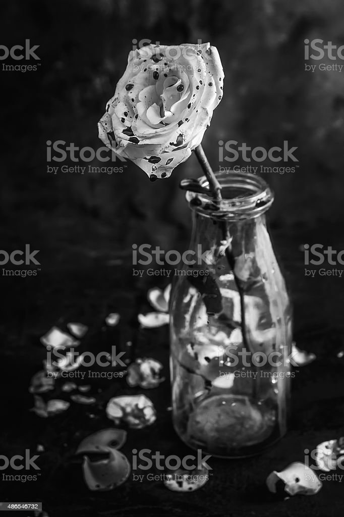 Royalty Free White Rose With Blood Pictures Images And Stock Photos