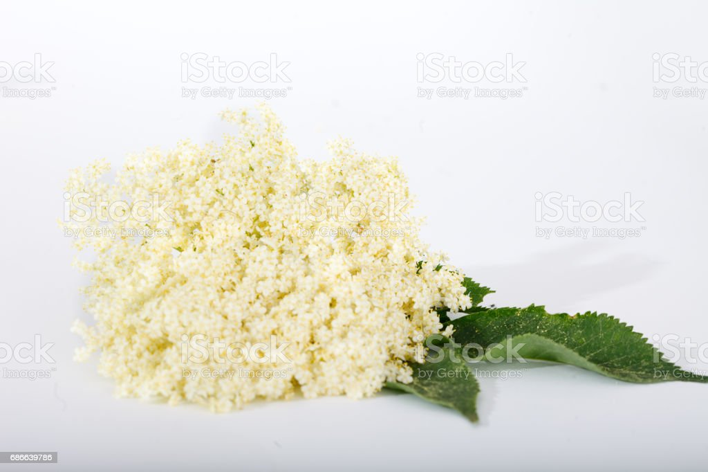 Bloom and leaves of elderflower (Sambucus nigra) on white background royalty-free stock photo