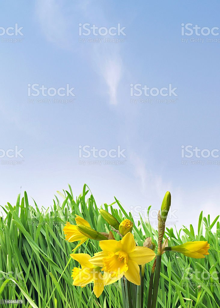 Bloom daffodils on a background of blue sky royalty-free stock photo