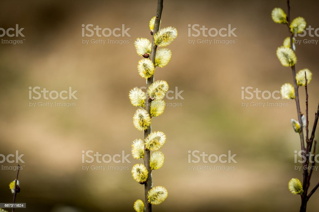 Bloom Goat willow stock photo