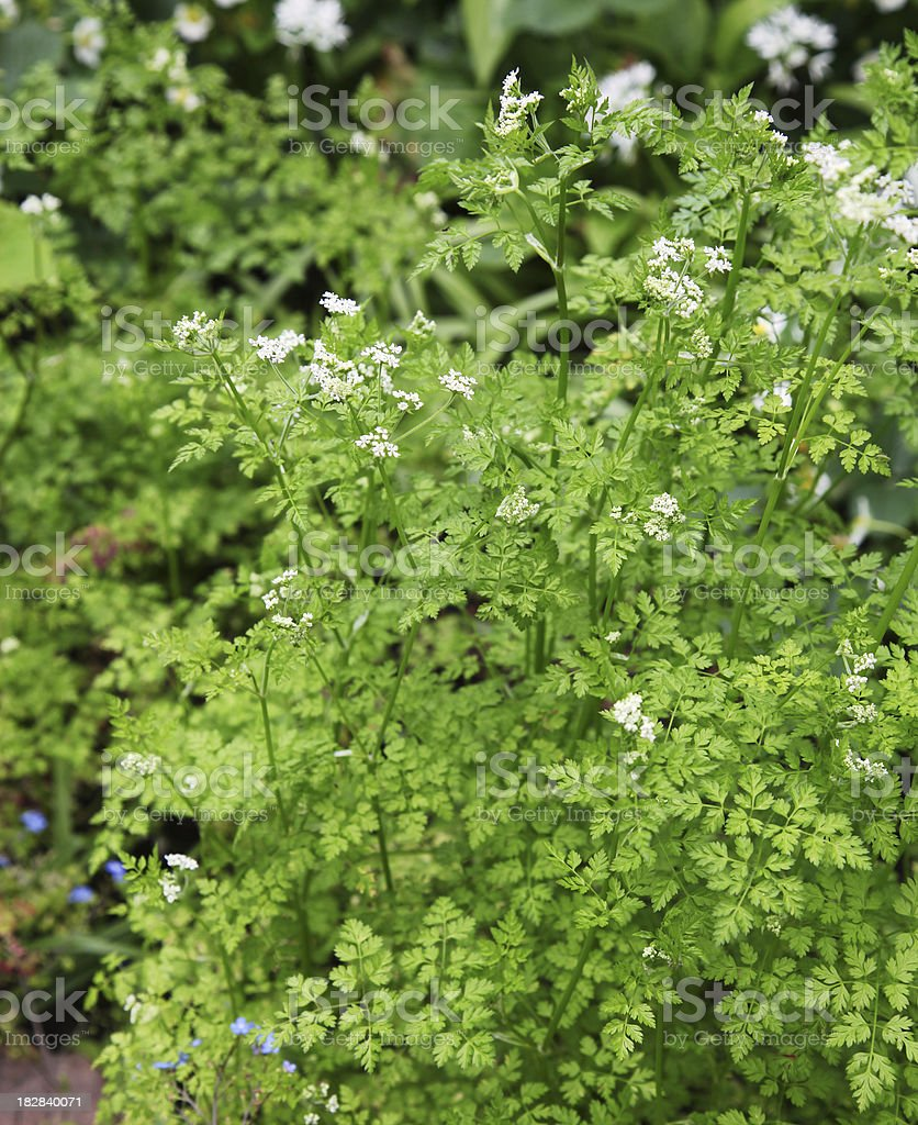 Bloom of chervil royalty-free stock photo