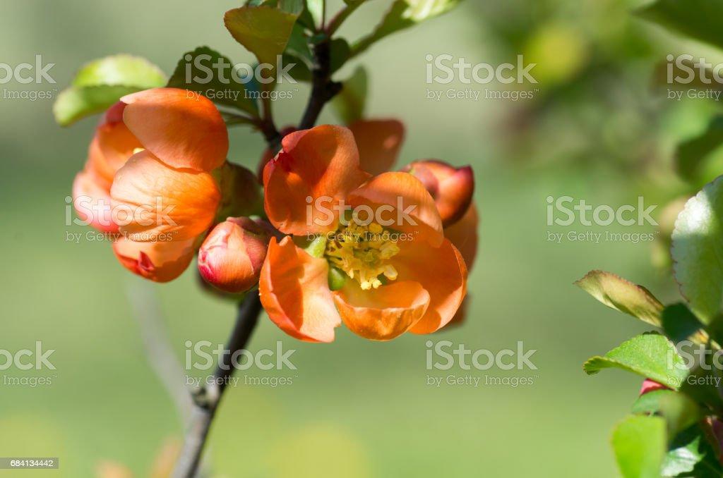 Blomning av kvitten i trädgården. Kvitten knoppar royaltyfri bildbanksbilder