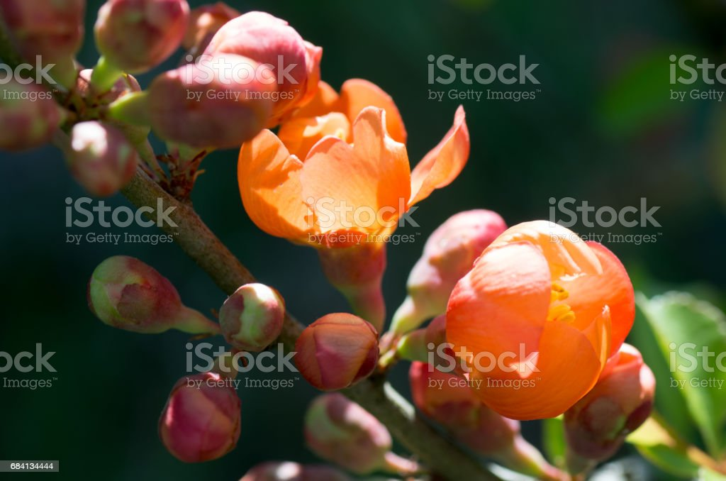 Bloom of Quince in the garden. Quince buds foto stock royalty-free