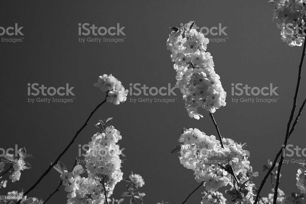 Bloom of the apple tree royalty-free stock photo