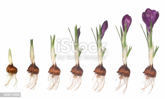 Crocus flower bulb from first shoot to full bloom