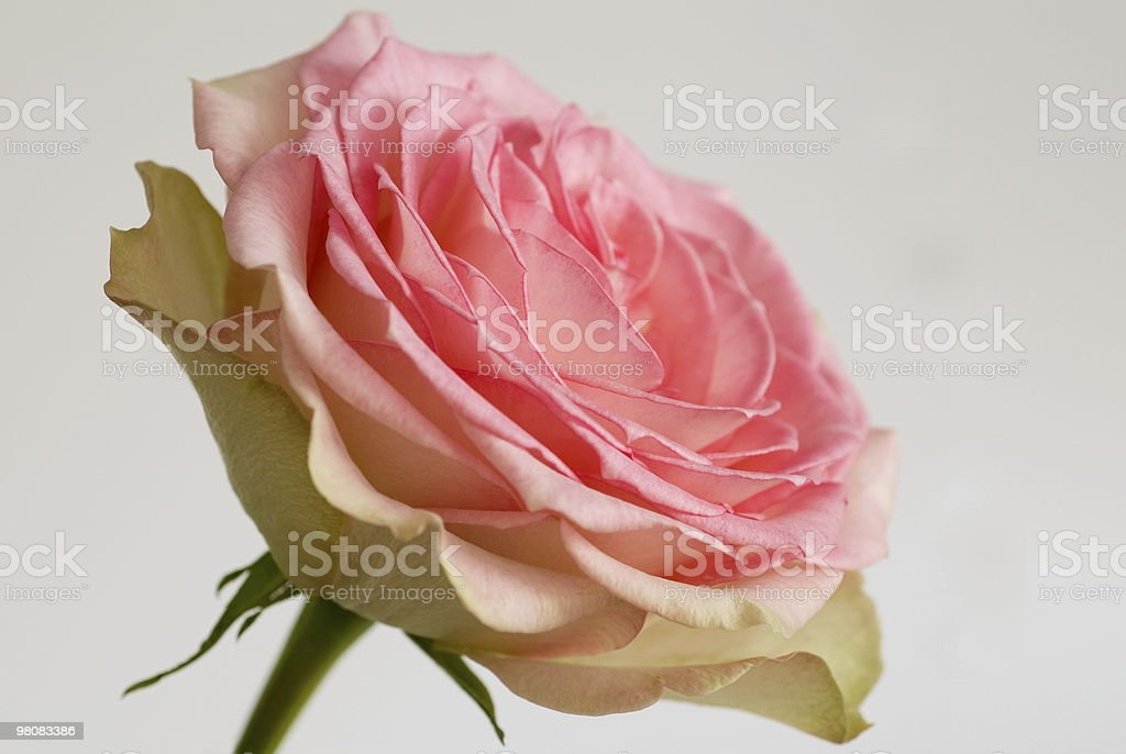 Bloomer royalty-free stock photo