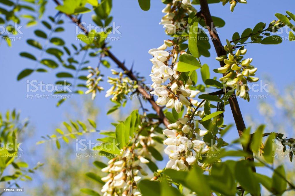 Blooming acacia flower close up zbiór zdjęć royalty-free