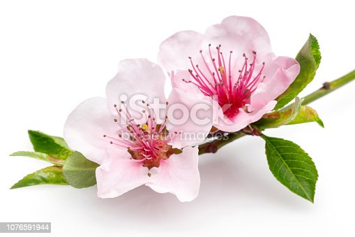 Blooming almond flowers on a thin branch isolated on white background. Macro, studio shot.