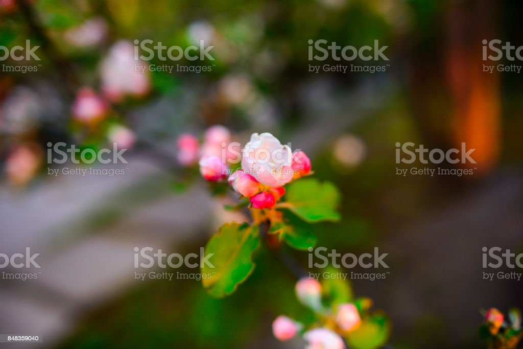 Blooming almond tree on the blue sky background. stock photo