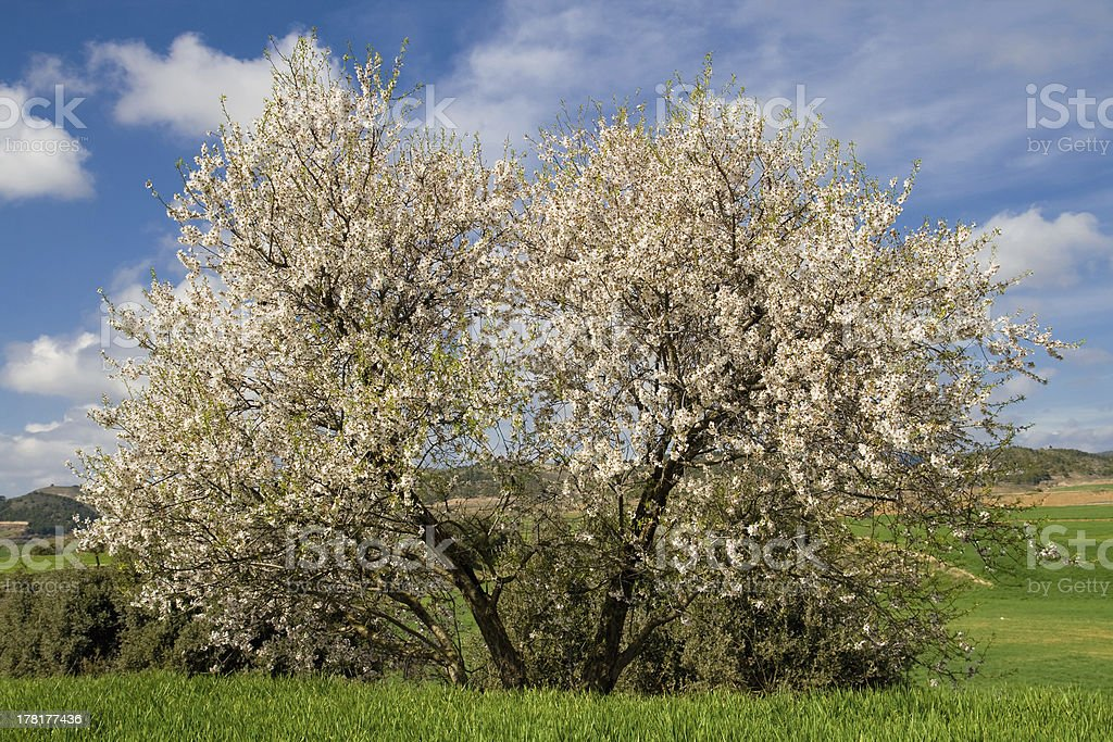 Blooming almond tree royalty-free stock photo