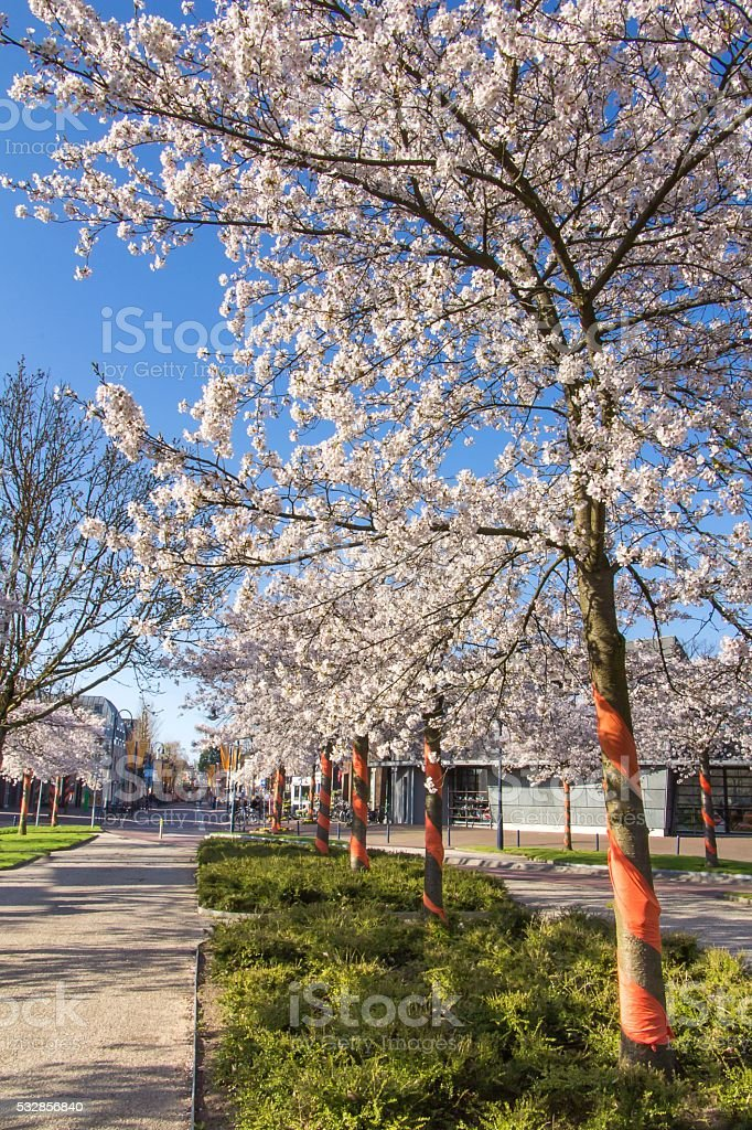Blooming Amalanchier trees in a public park stock photo
