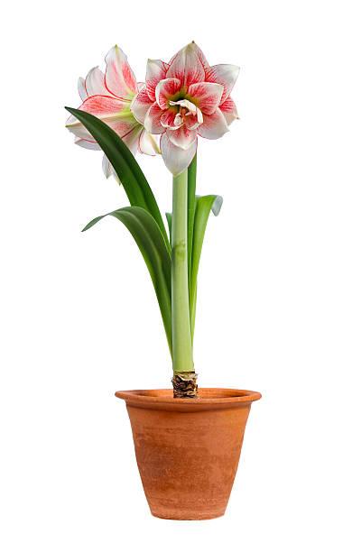 éclosion d'une fleur amaryllis - amaryllis photos et images de collection