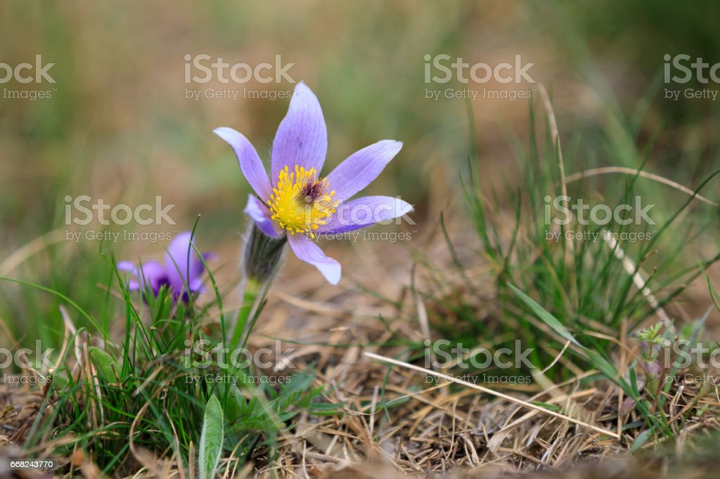blooming and faded blossom of purple pasque-flower foto stock royalty-free