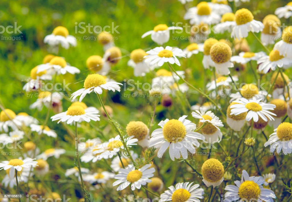 Blooming and overblown chamomile plants from very close stock photo