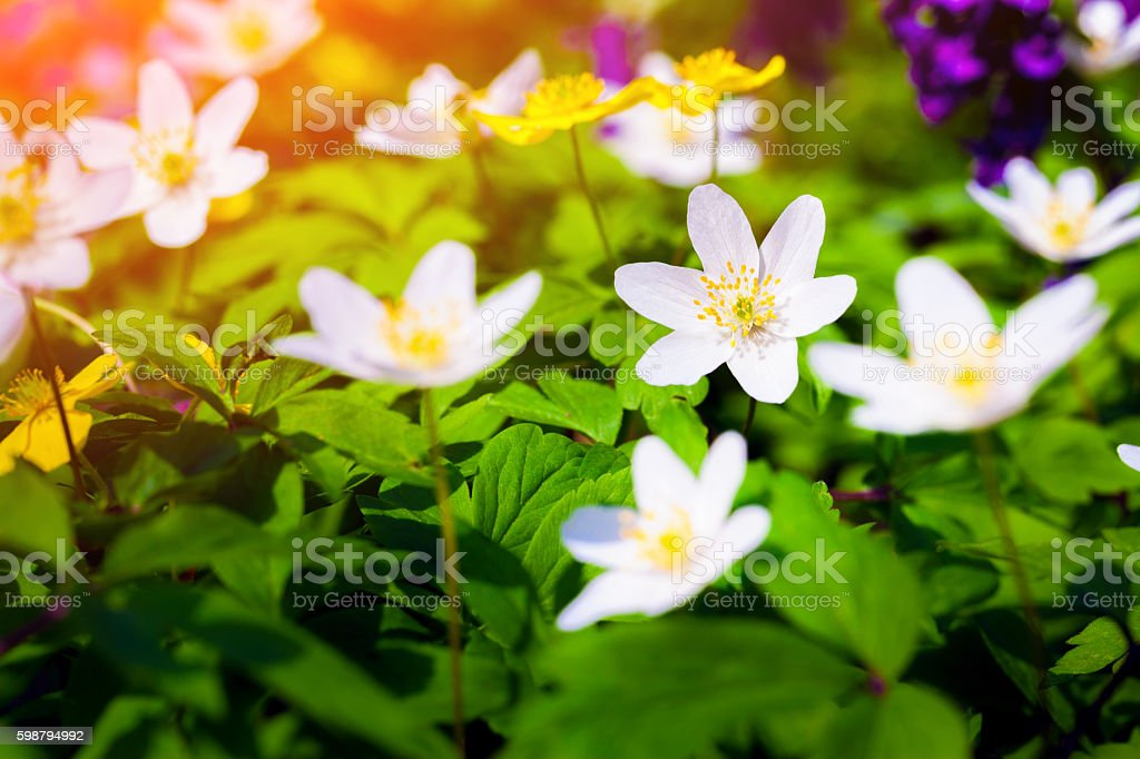 Blooming anemone flowers in the forest. stock photo