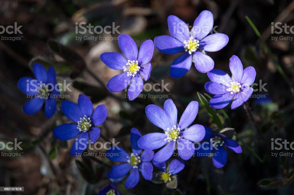 Blooming anemone stock photo