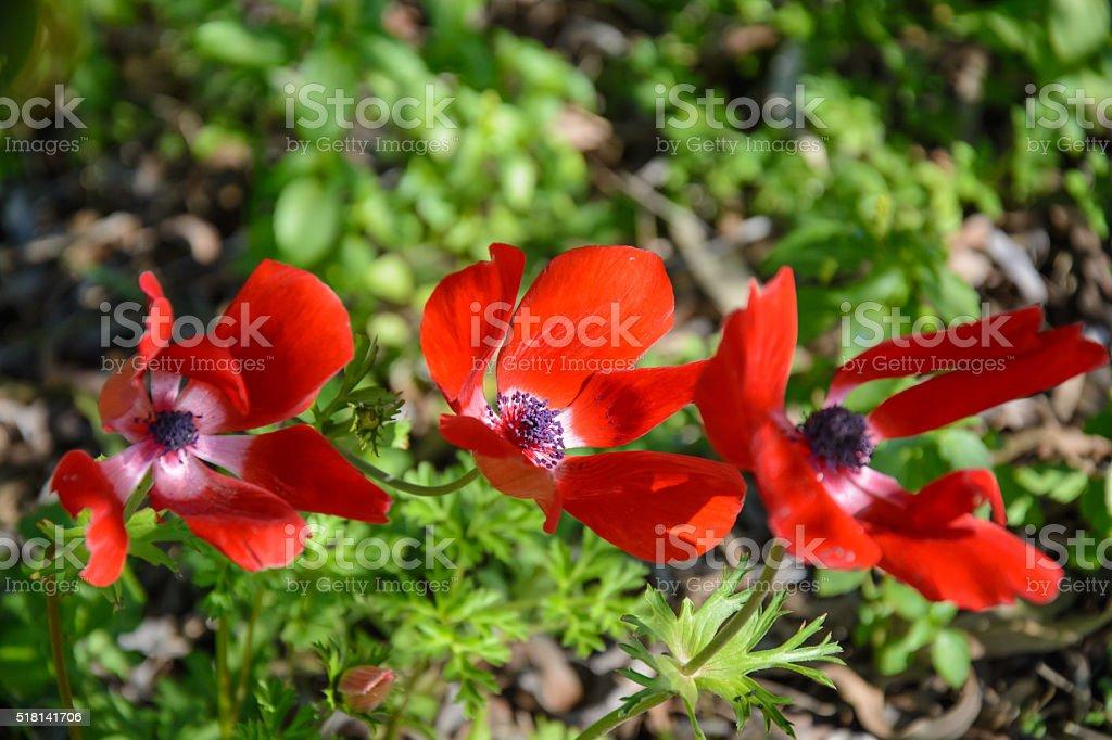 Blooming anemones stock photo