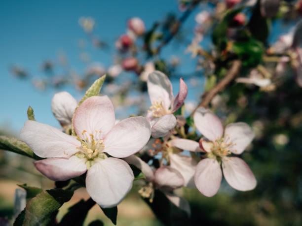 Blooming apple flower stock photo