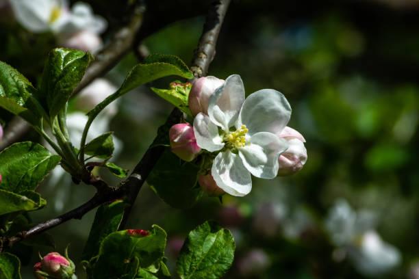 blühender Apfel-Blüten im Frühjahr – Foto