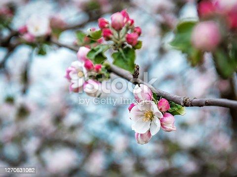 Beautiful blooming apple flowers. Springtime