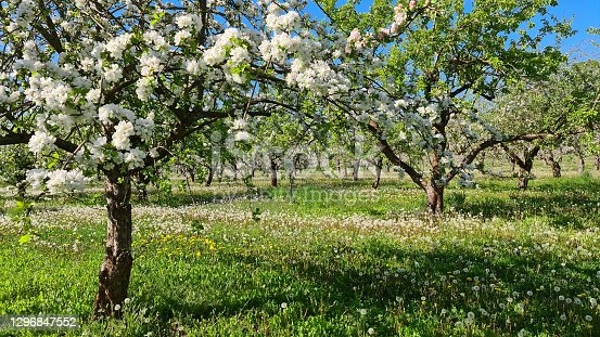 istock Blooming Apple Orchard in Spring 1296847552