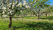 Blooming apple orchard in spring. Trees among white dandelions in flowers. Latvia, Baltic state