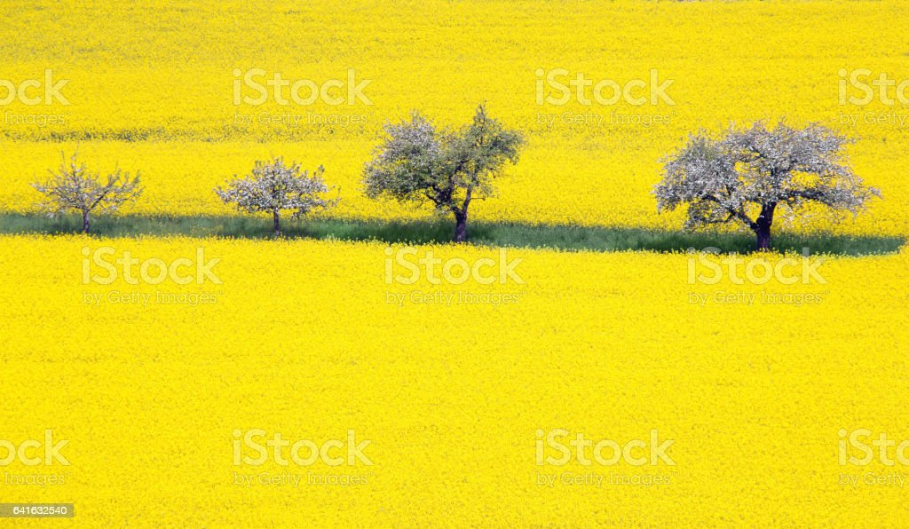 Blooming apple tree and rape field stock photo