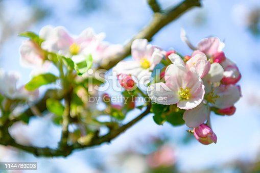 Blooming Apple tree blossom in an orchard during a beautiful spring day. Close up image with white and pink blossom flowers.