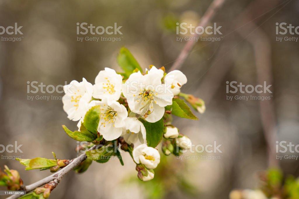 Blossoming apple garden in spring