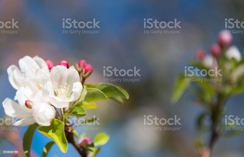 Blooming apple tree branch with a natural dark blurry background. Pink and white flowers. Spring time. Closeup. Left side. Copy space stock photo