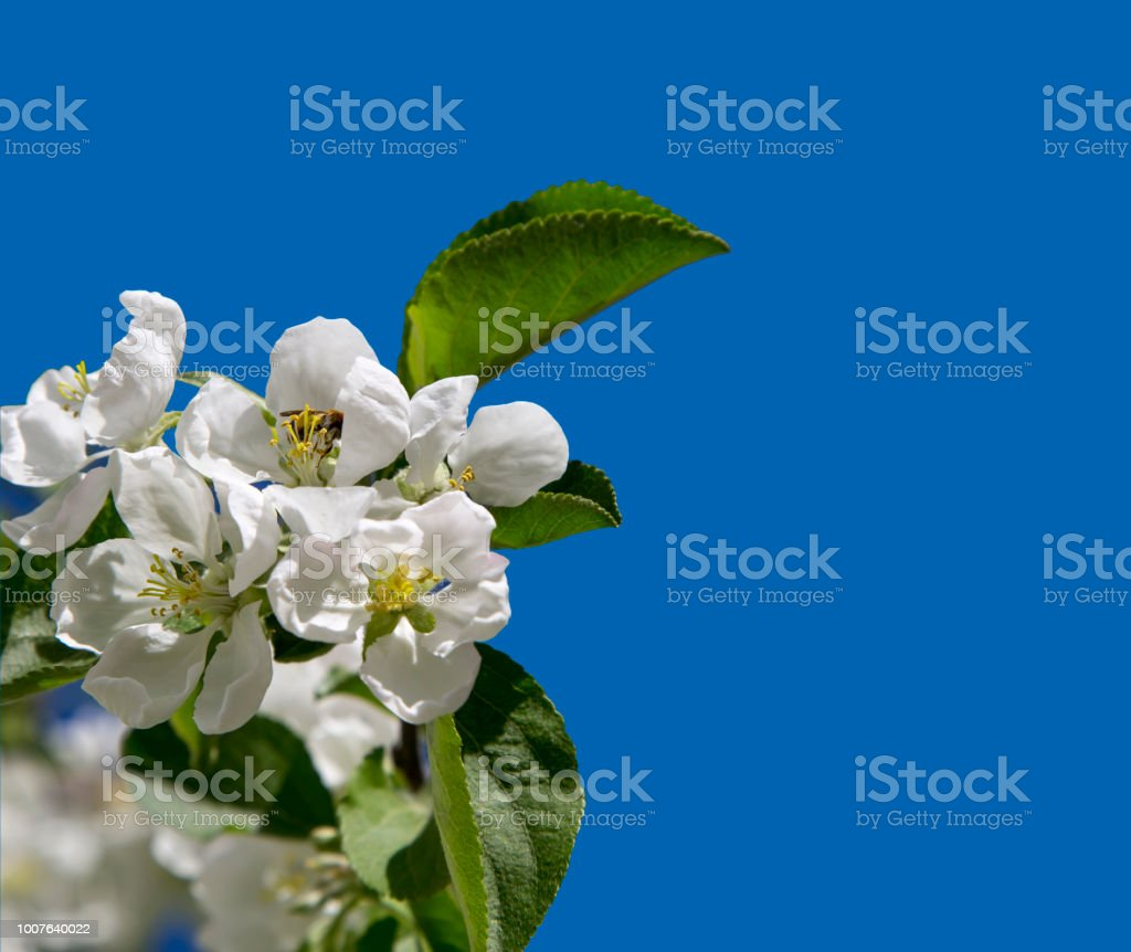 Blooming Apple Tree Branch With Large White Flowers Stock Photo