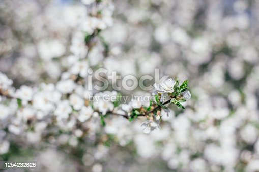 Blooming apple tree. Branches of a blossoming tree. Spring. White flowers on a tree