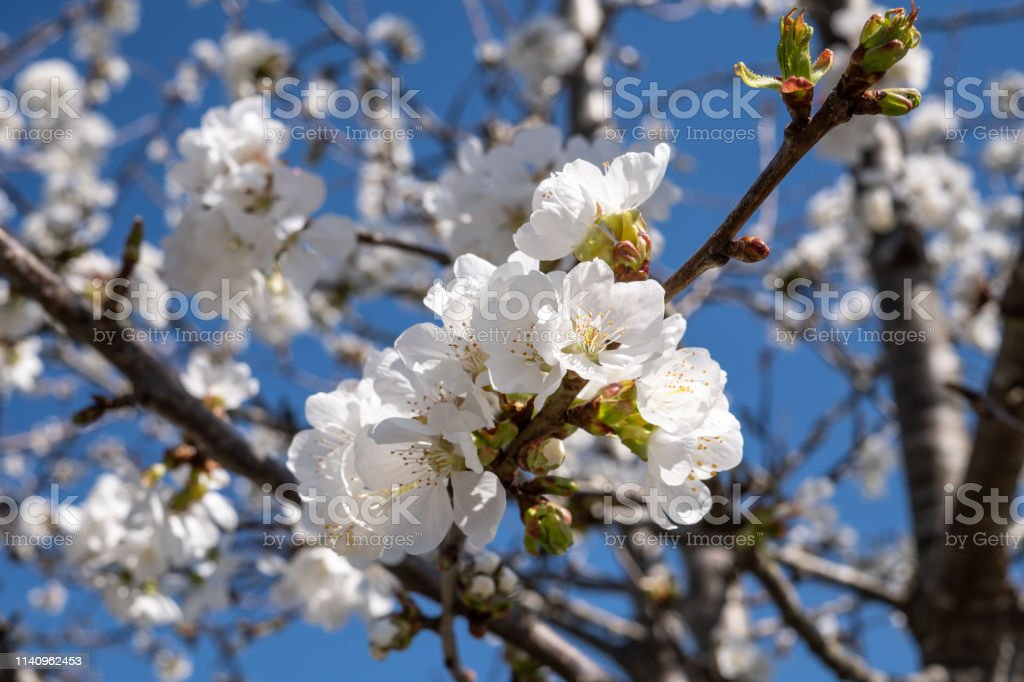 Blooming apple tree in spring time close up stock photo