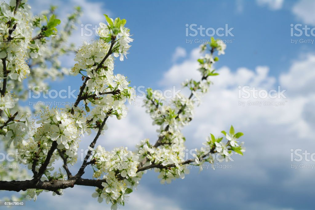 Blooming apple tree in spring time royalty-free stock photo