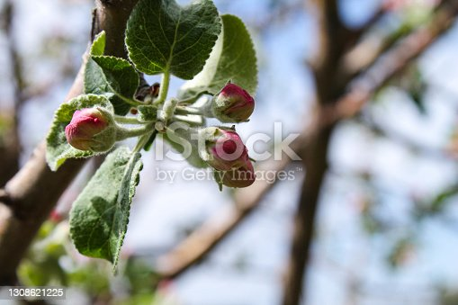 Blooming apple tree in the spring. Swollen buds of an apple tree. Close-up