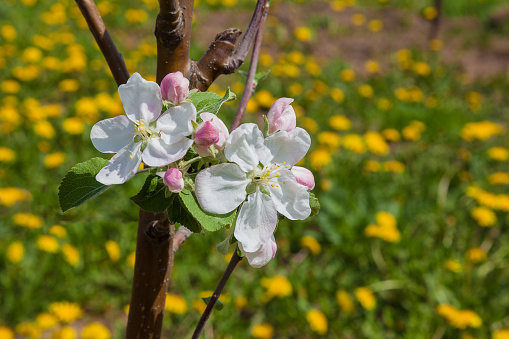 A blooming apple tree on a background of a meadow covered with yellow flowers.
