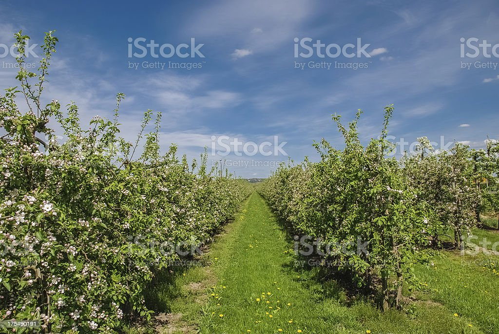 Blooming Apple Tree Orchard royalty-free stock photo