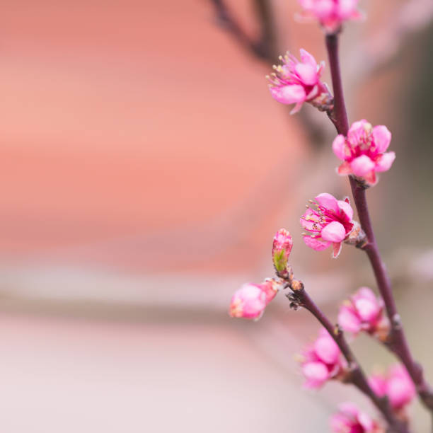 Blooming apple tree. Selective focus stock photo