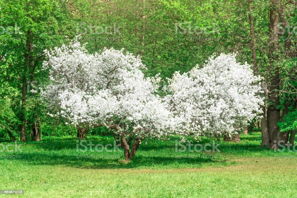 Blooming apple tree - unusual shape is like a heart in the green park spring time. royalty-free stock photo