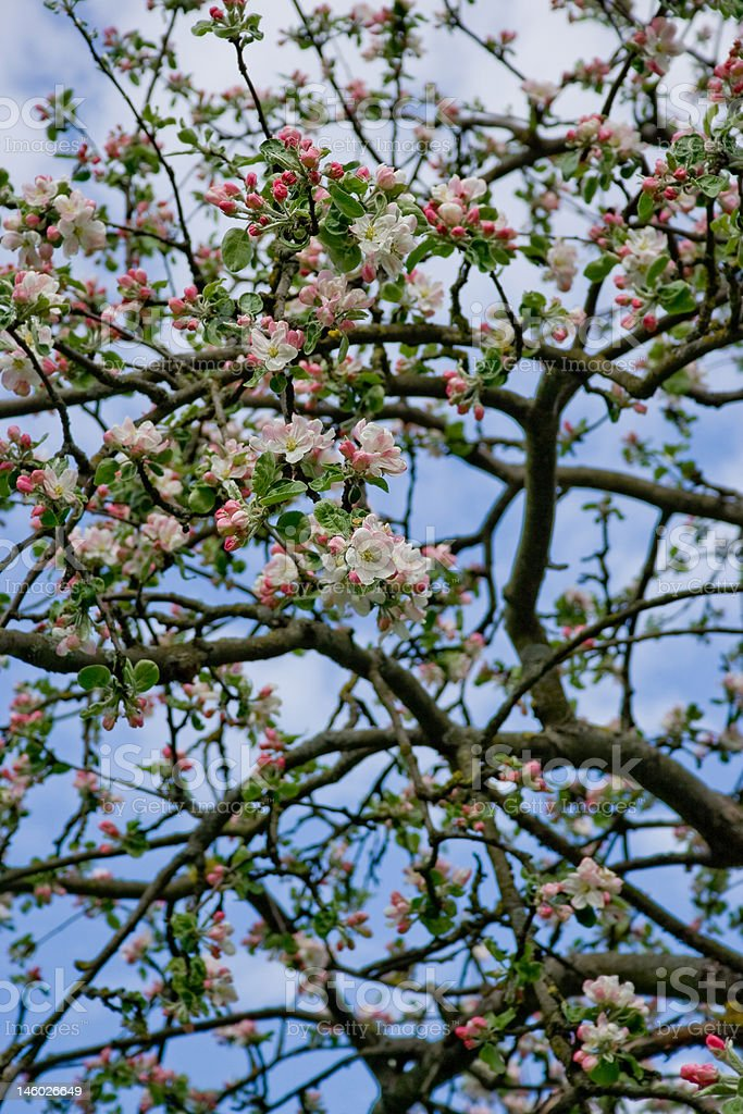 Blooming Apple Tree Wallpaper Background Royalty Free Stock Photo