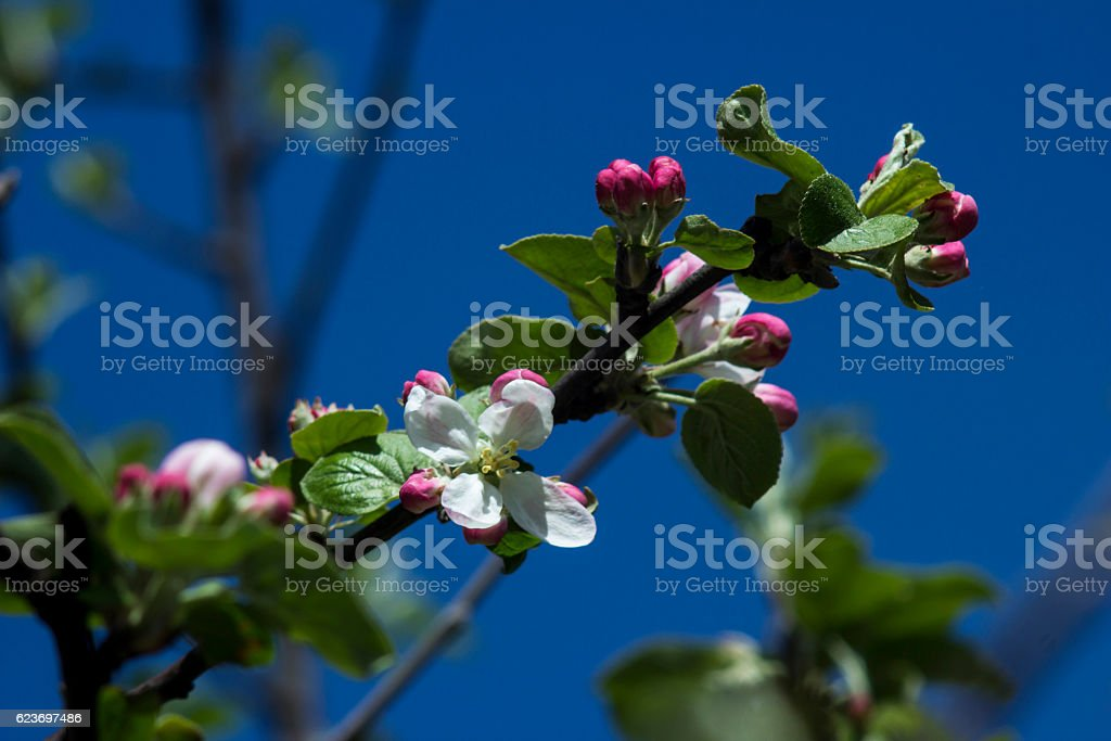 Blooming apple tree with blue sky stock photo