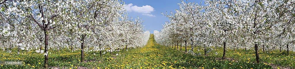 Blooming apple trees 43MPix XXXXL stock photo