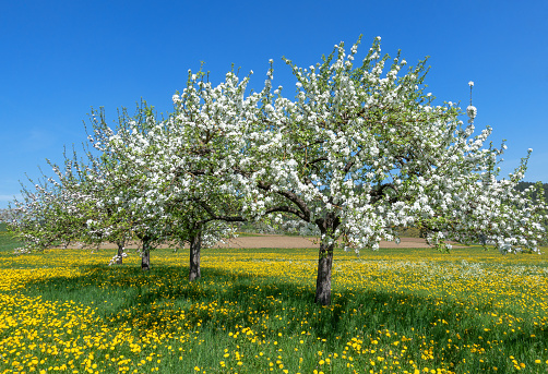 Blooming apple trees in a row on a flower meadow