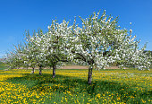 Four blooming apple trees diagonally in a row on a flower meadow with yellow dandelions in spring