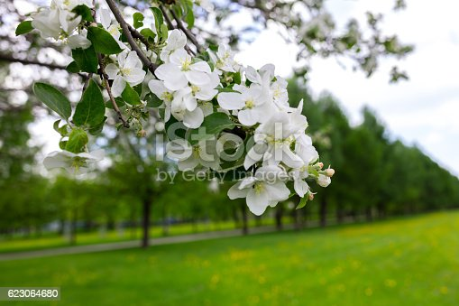 blooming apple trees in the park